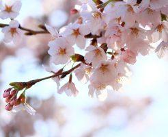 【Minpaku Supportersブログ】3月27日はさくらの日ですね!